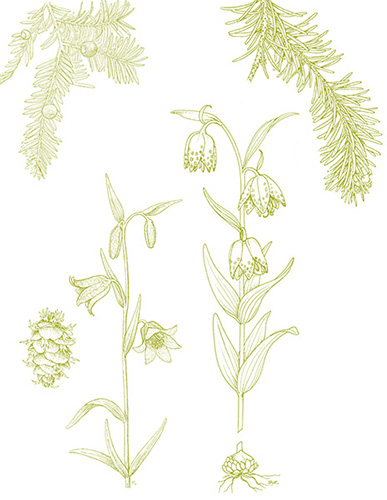 scientific drawing of plant
